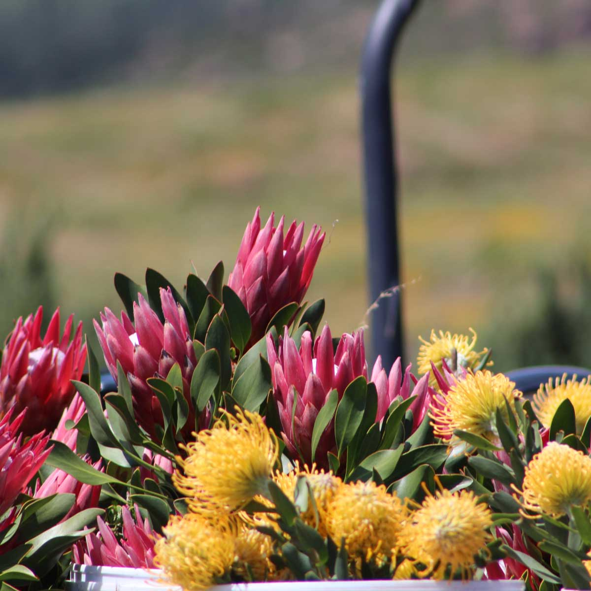 cederbergtours-fynbos-proteas